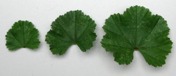 mallow_leaves
